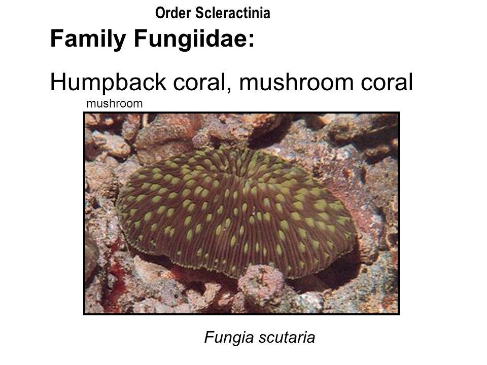 Humpback coral, mushroom coral