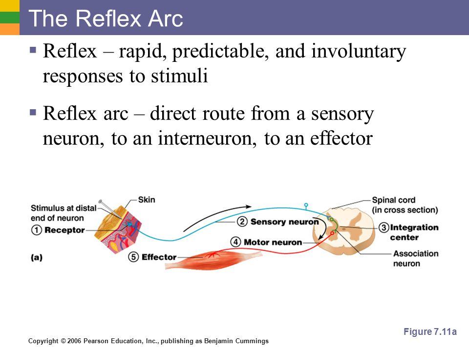 The Reflex Arc Reflex – rapid, predictable, and involuntary responses to stimuli.
