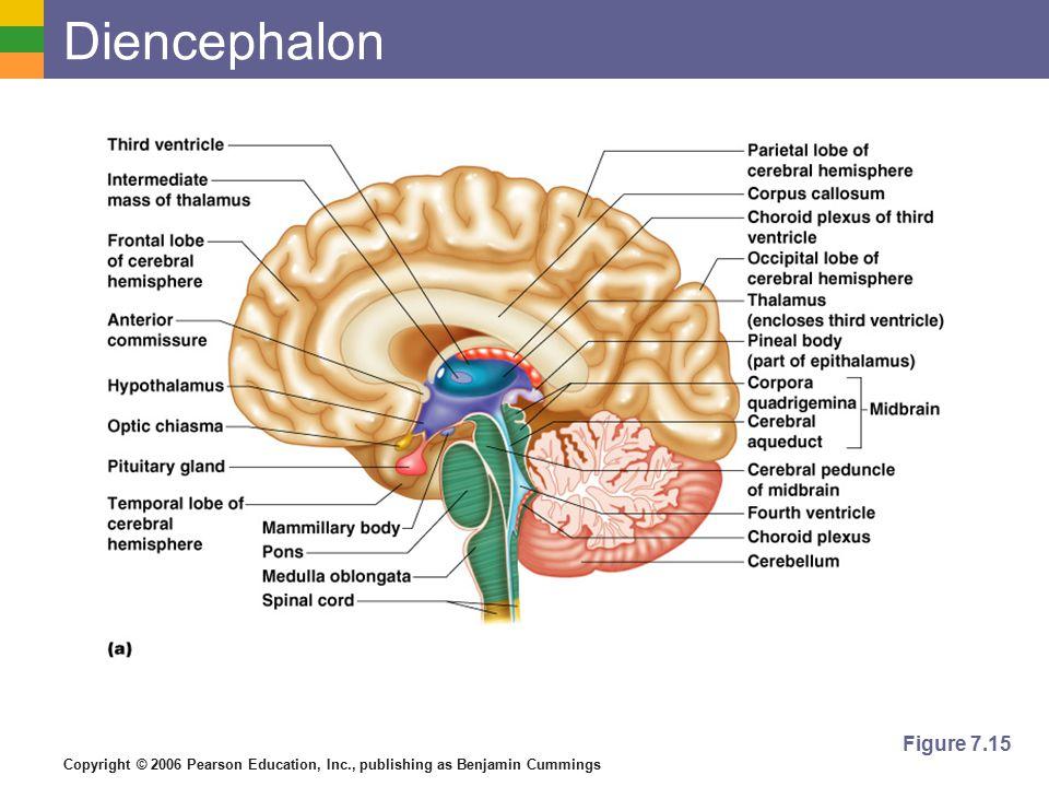 Diencephalon Figure 7.15
