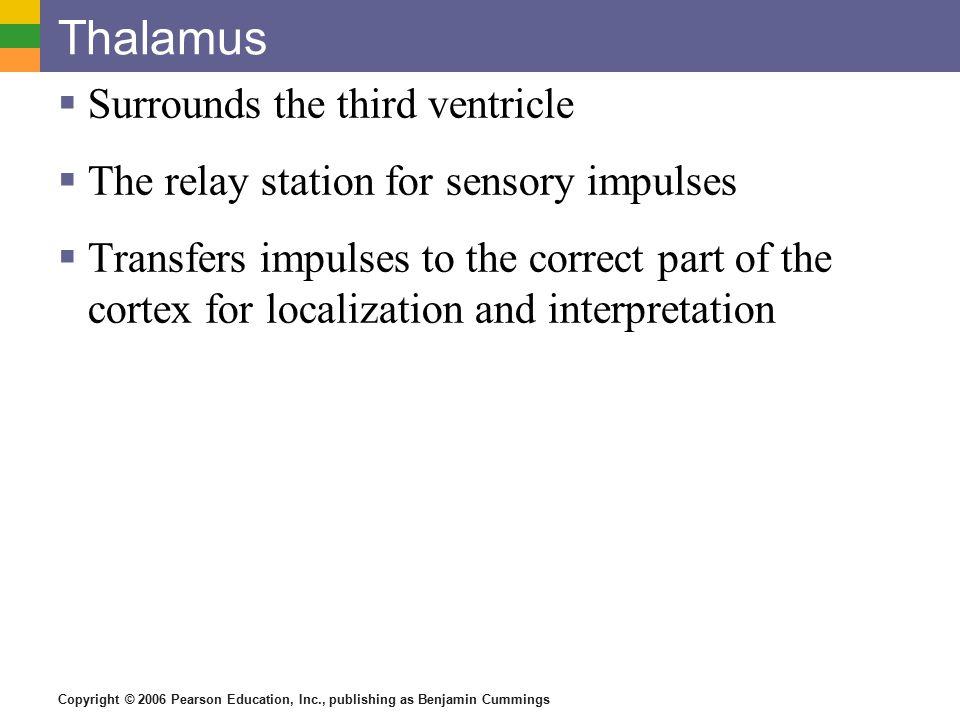 Thalamus Surrounds the third ventricle