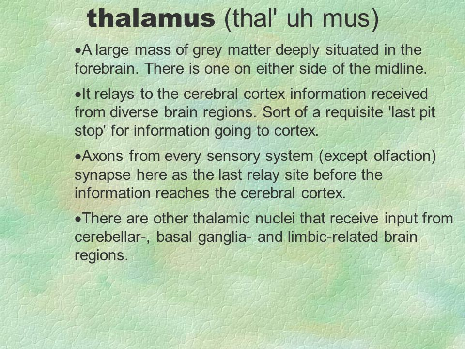 thalamus (thal uh mus) A large mass of grey matter deeply situated in the forebrain. There is one on either side of the midline.