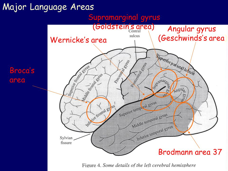 Major Language Areas Supramarginal gyrus (Goldstein's area)