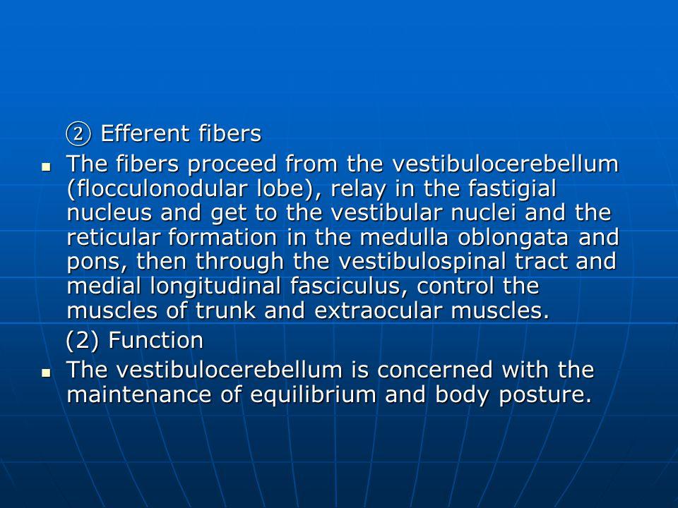 ② Efferent fibers