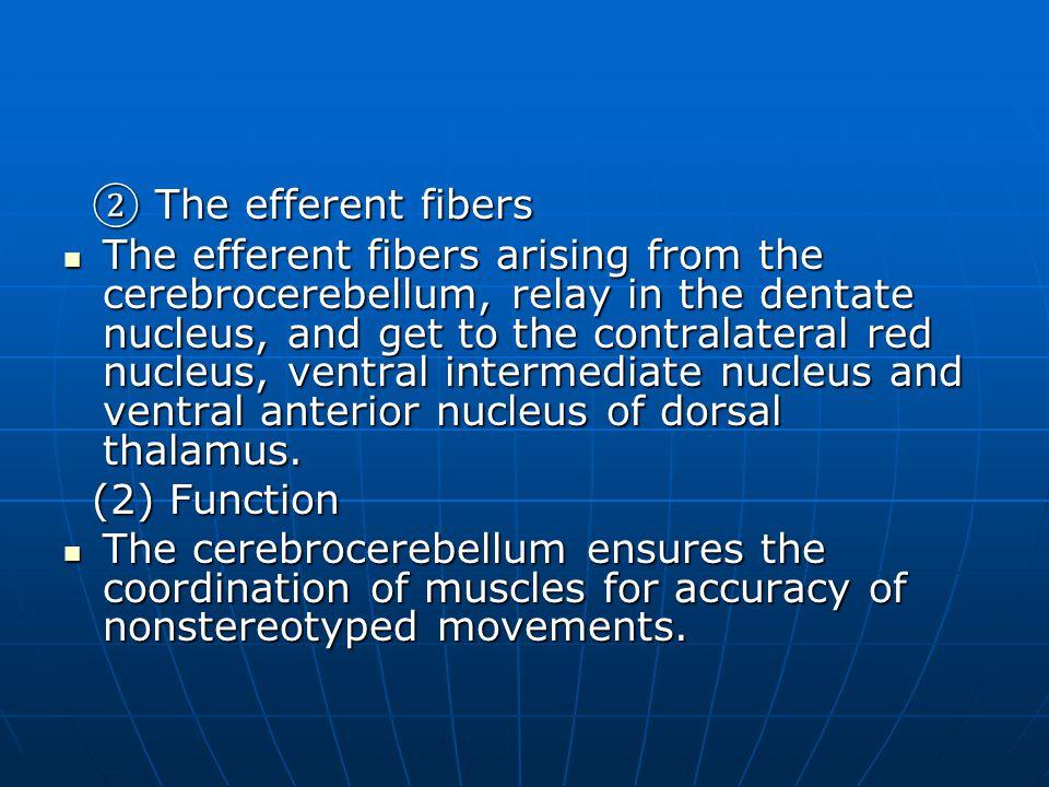 ② The efferent fibers