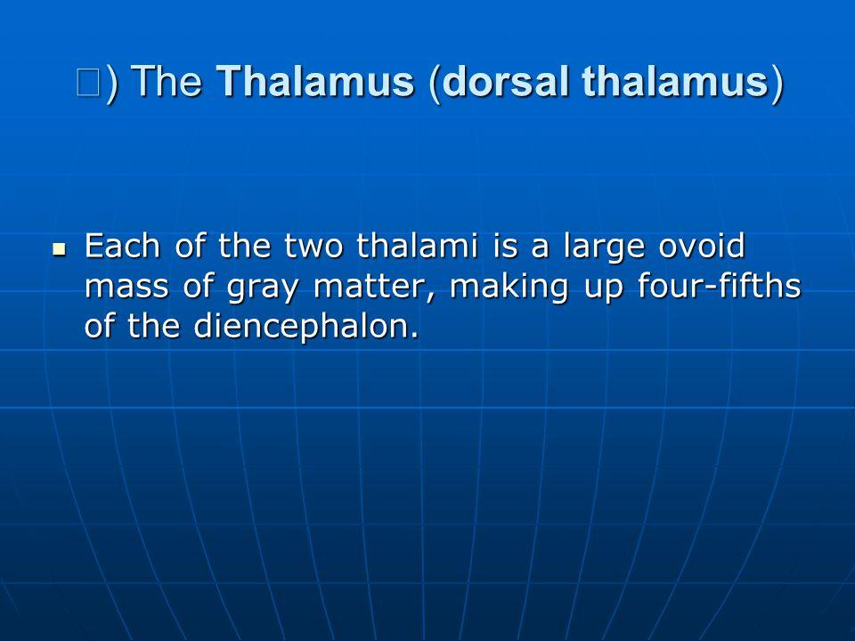 Ⅰ) The Thalamus (dorsal thalamus)