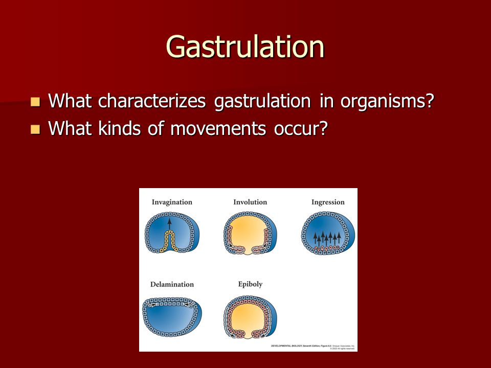 Gastrulation What characterizes gastrulation in organisms