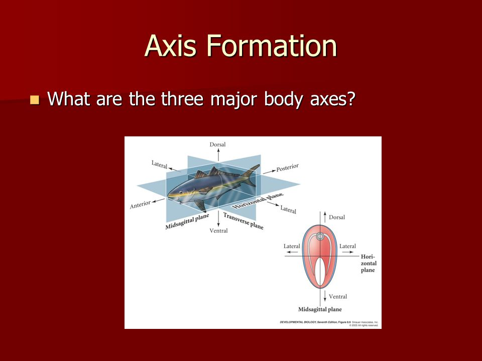 Axis Formation What are the three major body axes
