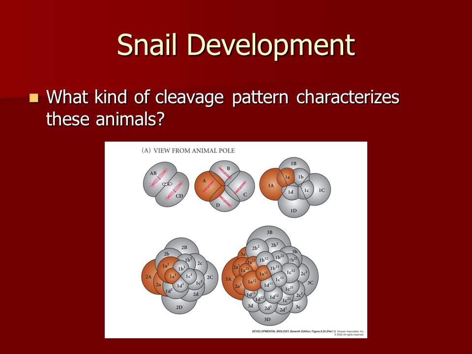 Snail Development What kind of cleavage pattern characterizes these animals spiral holoblastic – no blastocoel.
