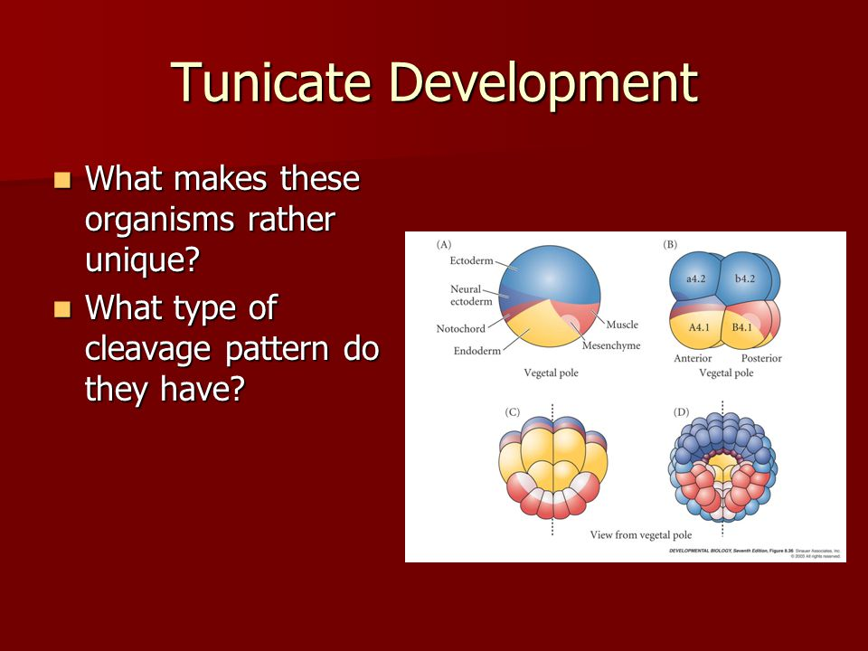 Tunicate Development What makes these organisms rather unique