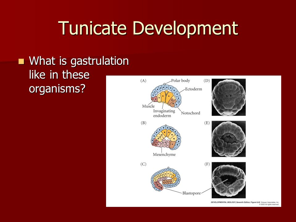 Tunicate Development What is gastrulation like in these organisms