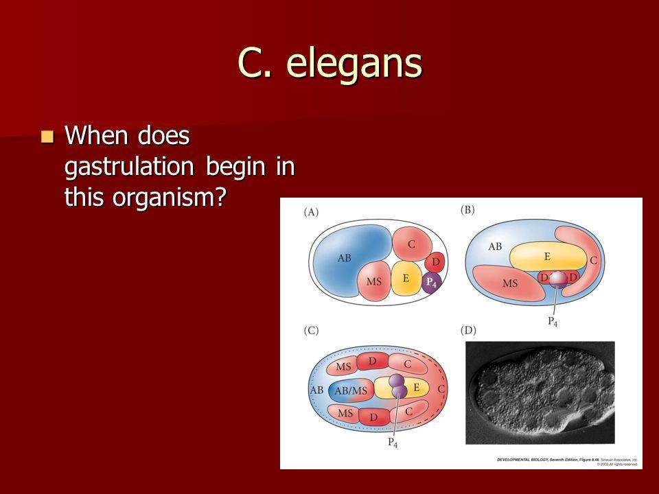 C. elegans When does gastrulation begin in this organism
