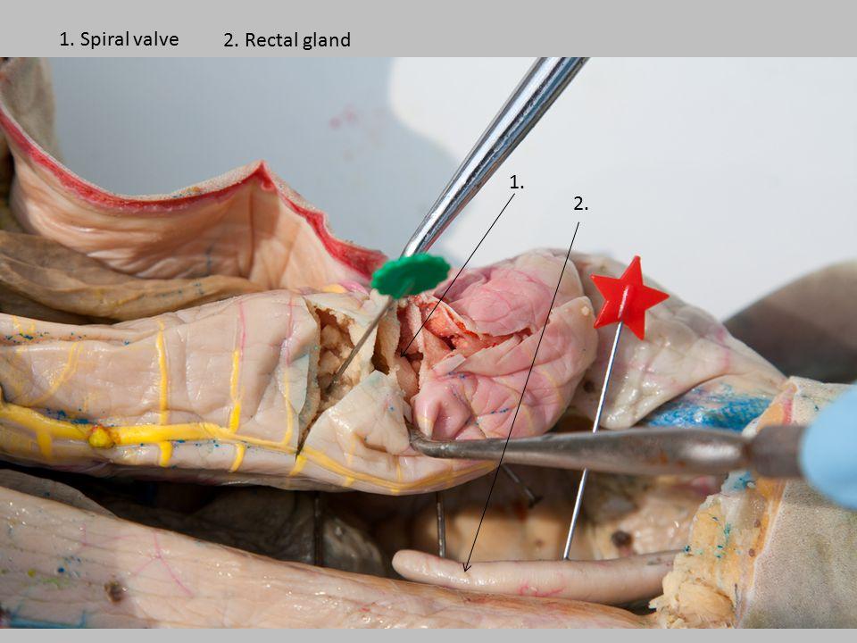 1. Spiral valve 2. Rectal gland 1. 2.