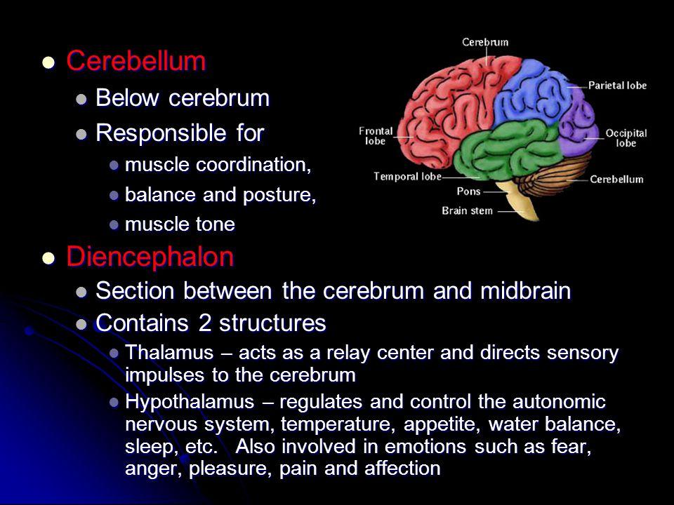 Cerebellum Diencephalon Below cerebrum Responsible for