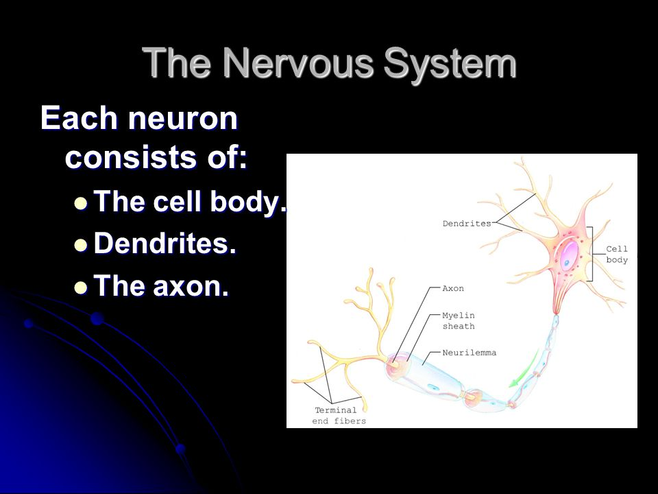The Nervous System Each neuron consists of: The cell body. Dendrites.