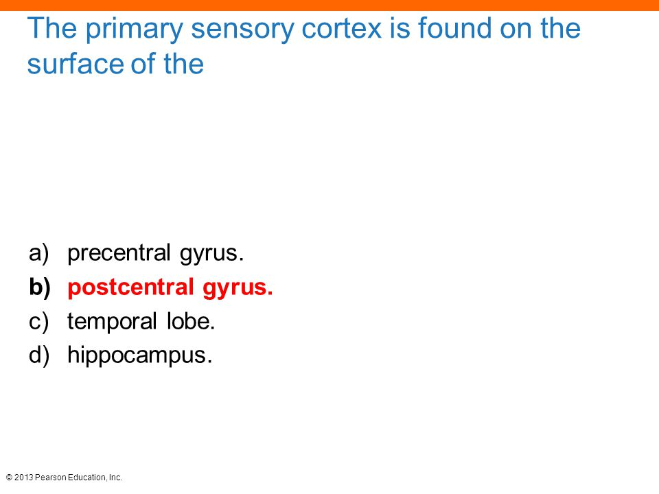 The primary sensory cortex is found on the surface of the