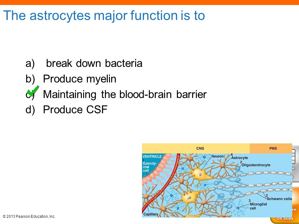 The astrocytes major function is to