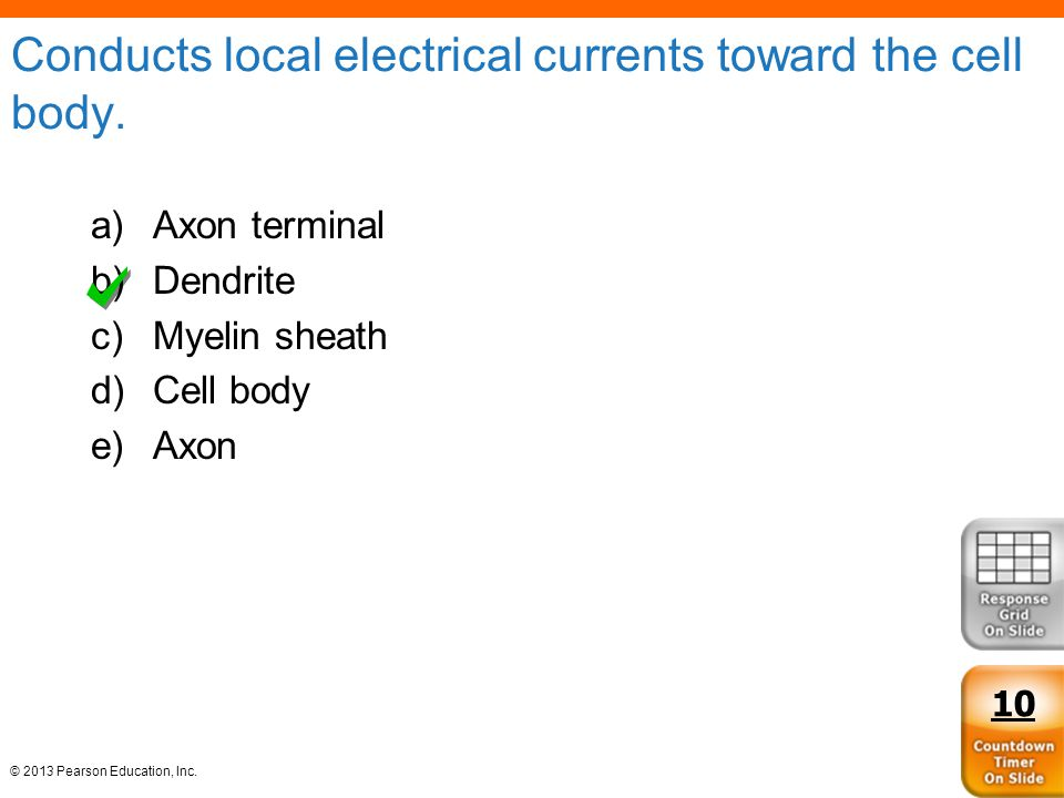 Conducts local electrical currents toward the cell body.