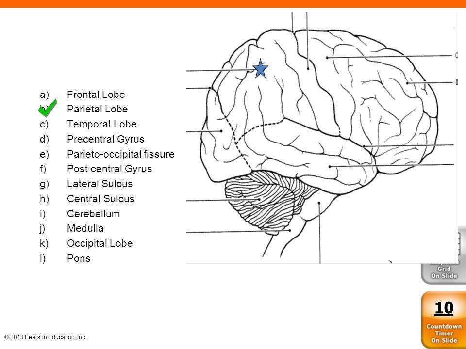 10 Frontal Lobe Parietal Lobe Temporal Lobe Precentral Gyrus