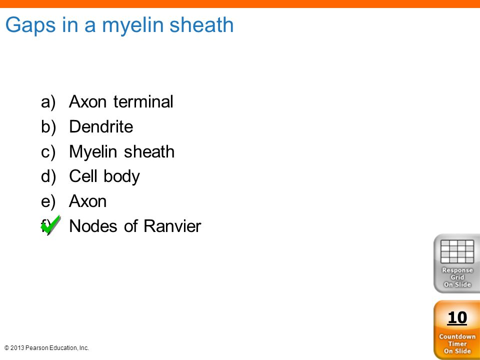 Gaps in a myelin sheath Axon terminal Dendrite Myelin sheath Cell body