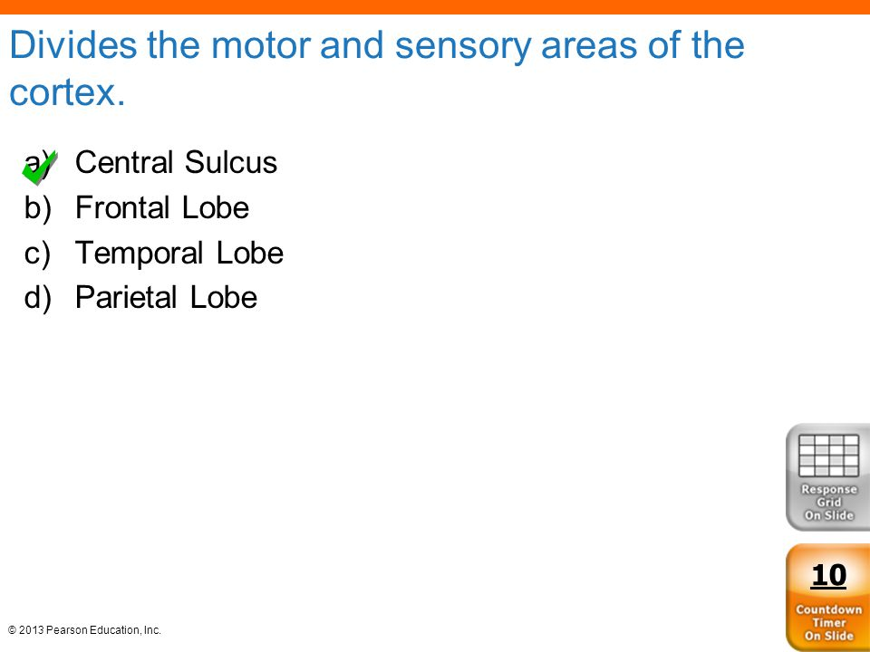 Divides the motor and sensory areas of the cortex.