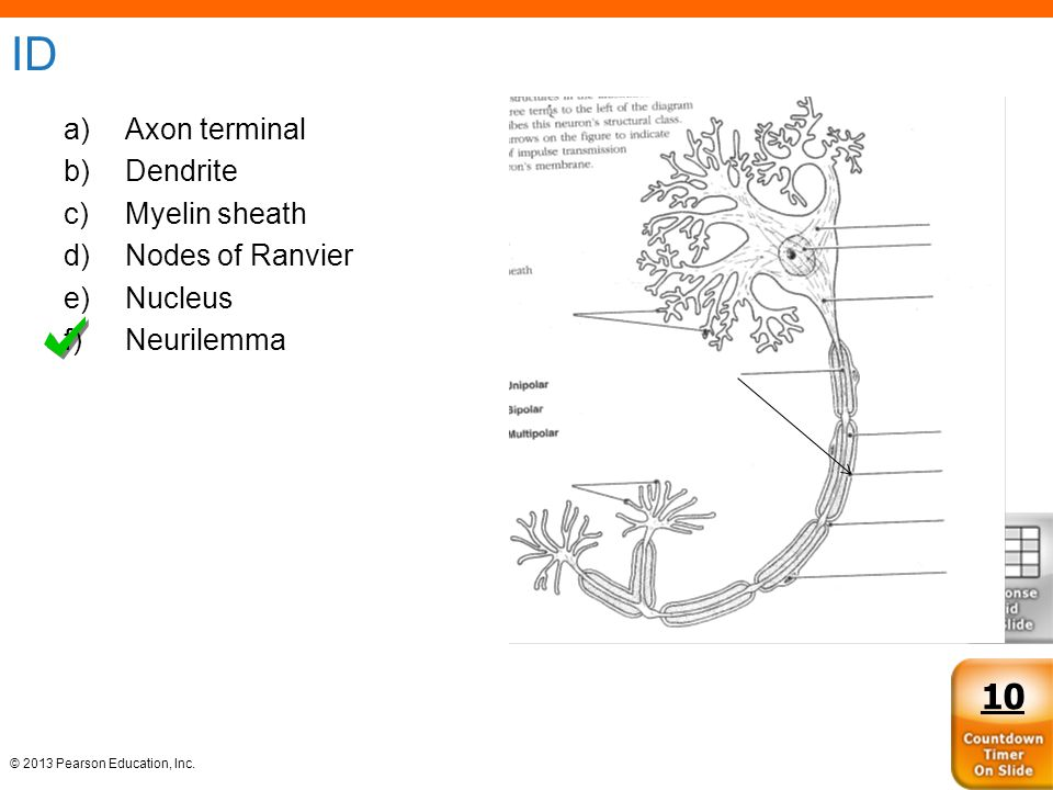 ID 10 Axon terminal Dendrite Myelin sheath Nodes of Ranvier Nucleus