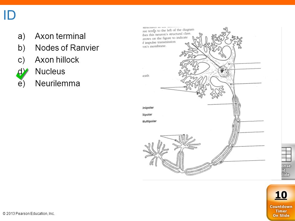 ID Axon terminal Nodes of Ranvier Axon hillock Nucleus Neurilemma 10