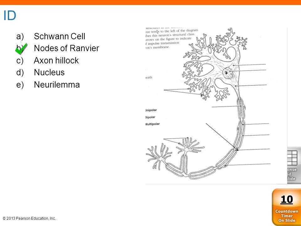 ID Schwann Cell Nodes of Ranvier Axon hillock Nucleus Neurilemma 10