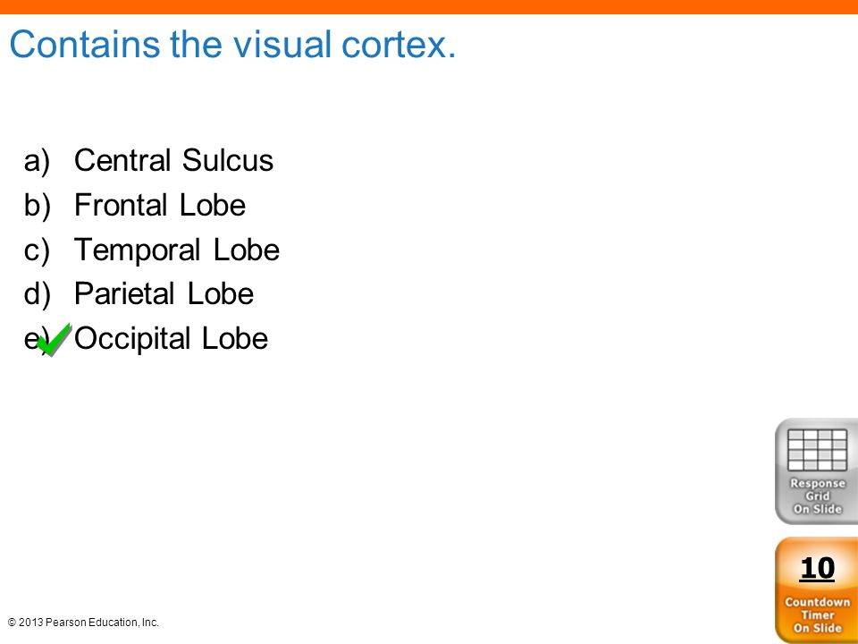 Contains the visual cortex.