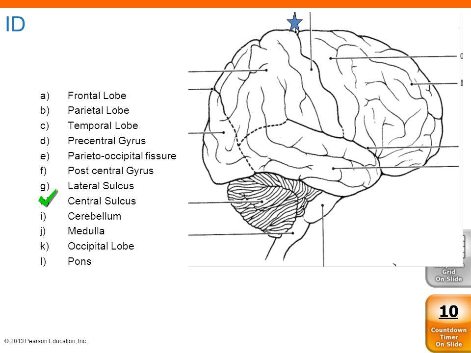 ID 10 Frontal Lobe Parietal Lobe Temporal Lobe Precentral Gyrus