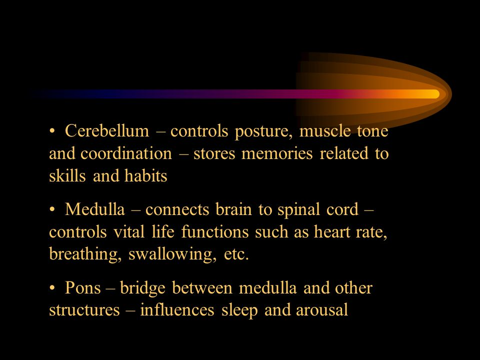 Cerebellum – controls posture, muscle tone and coordination – stores memories related to skills and habits