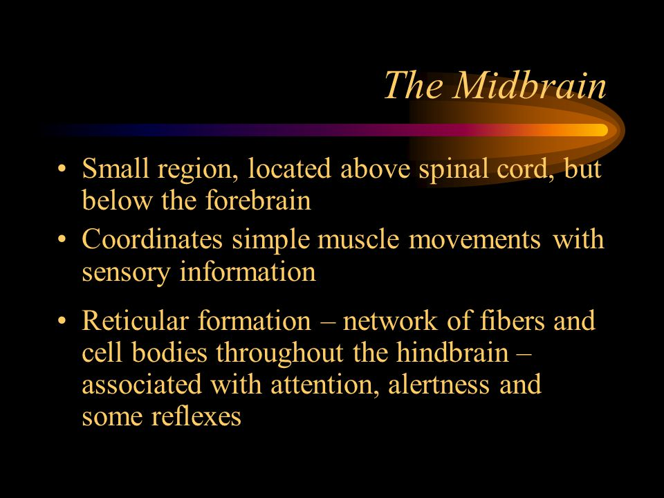 The Midbrain Small region, located above spinal cord, but below the forebrain. Coordinates simple muscle movements with sensory information.