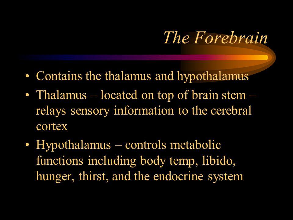 The Forebrain Contains the thalamus and hypothalamus