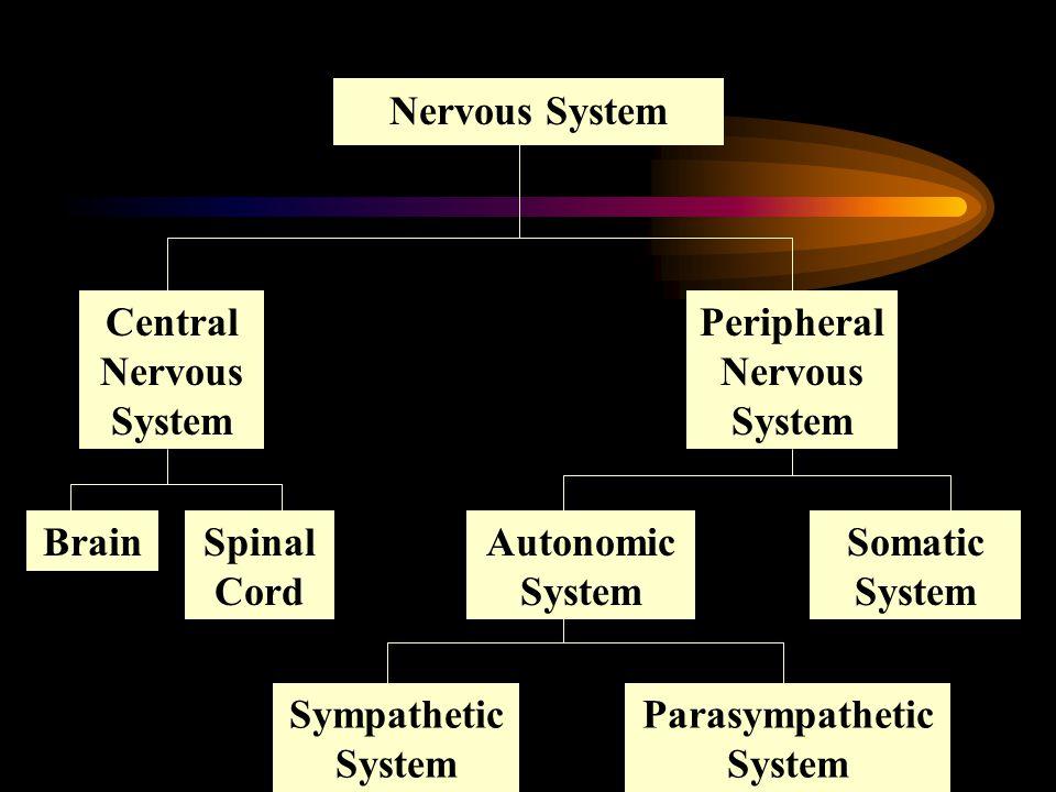 Central Nervous System Peripheral Nervous System