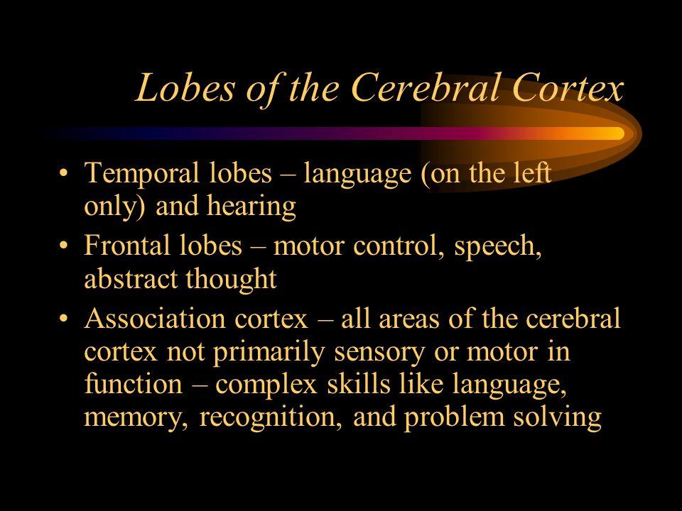 Lobes of the Cerebral Cortex