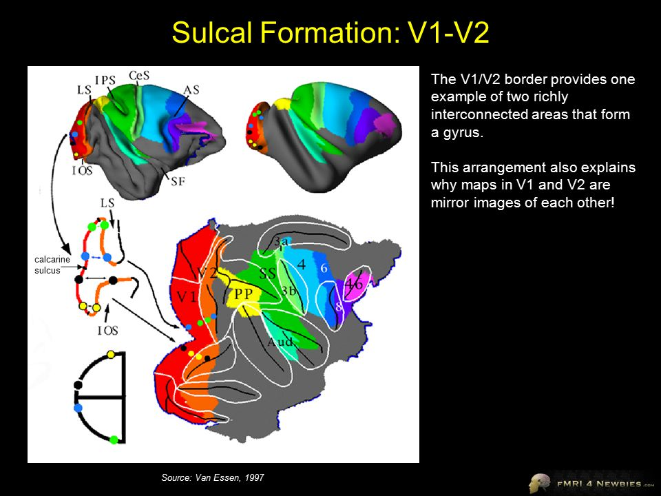 Sulcal Formation: V1-V2 The V1/V2 border provides one example of two richly interconnected areas that form a gyrus.