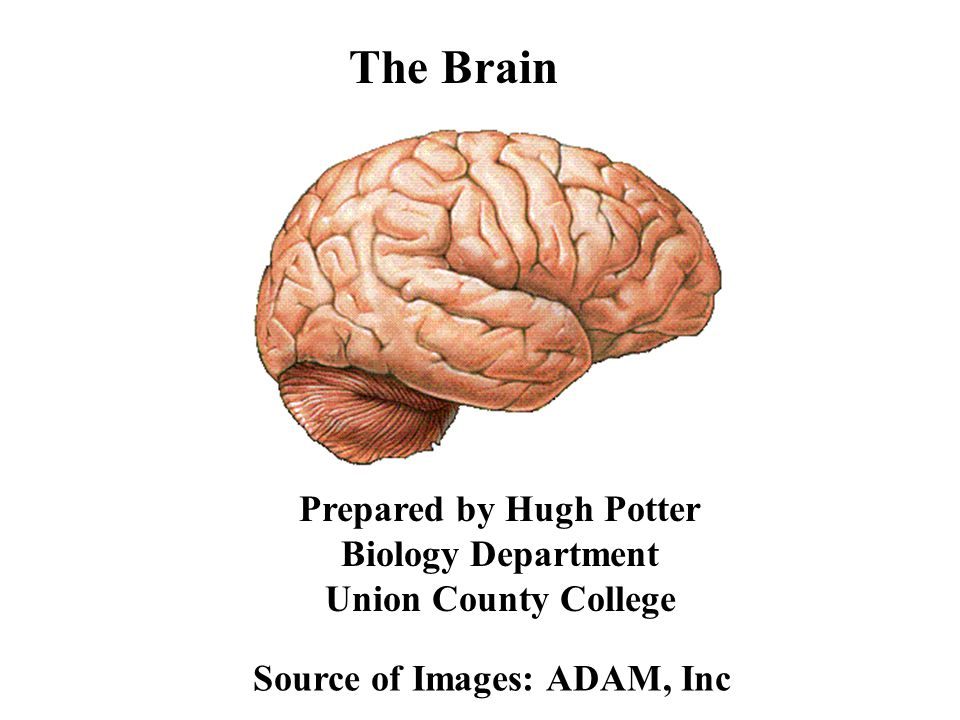 The Brain Prepared by Hugh Potter Biology Department Union County College.