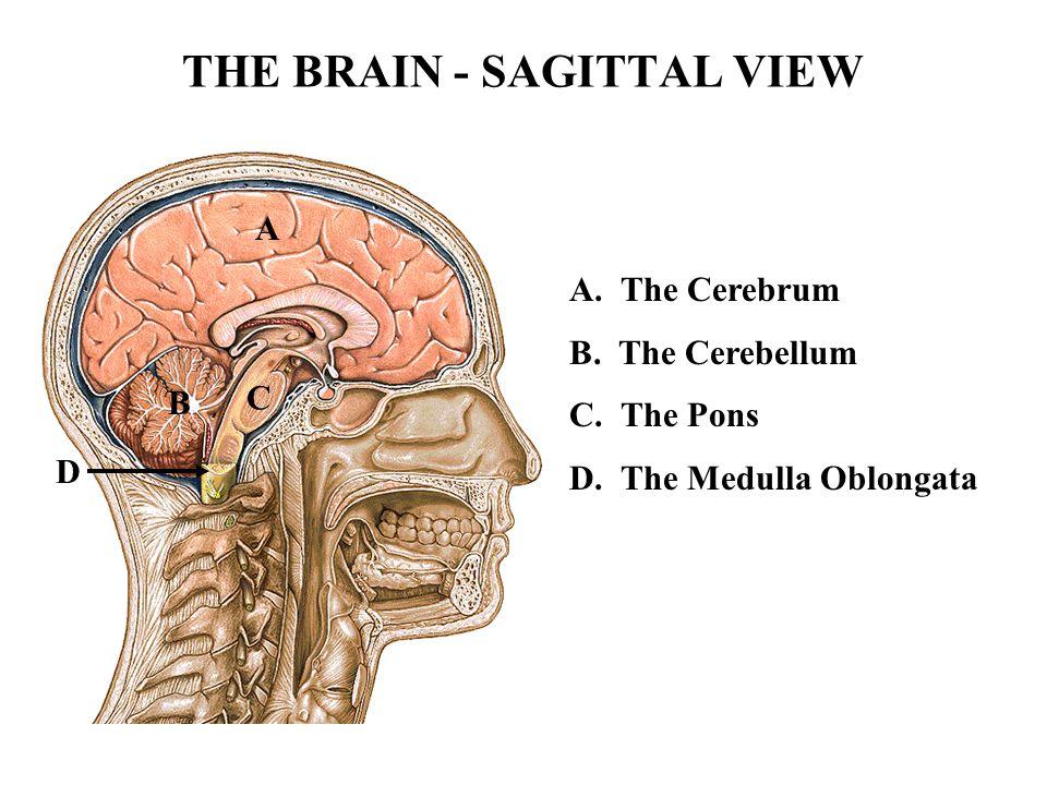 THE BRAIN - SAGITTAL VIEW