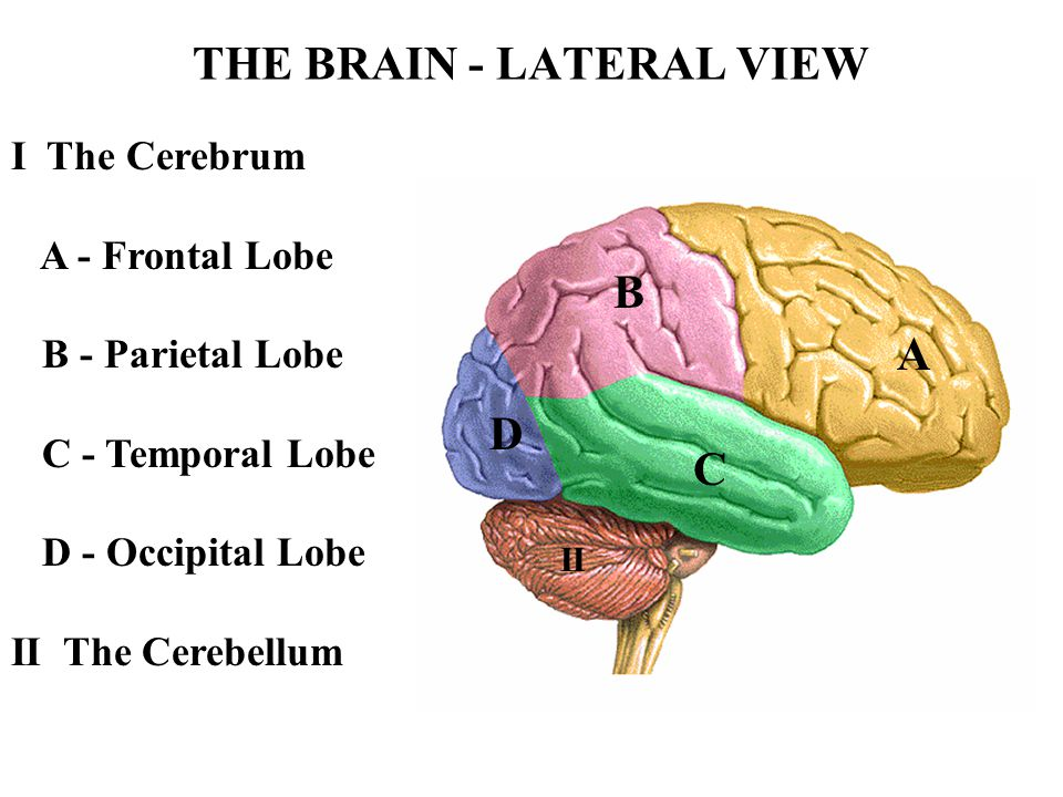THE BRAIN - LATERAL VIEW