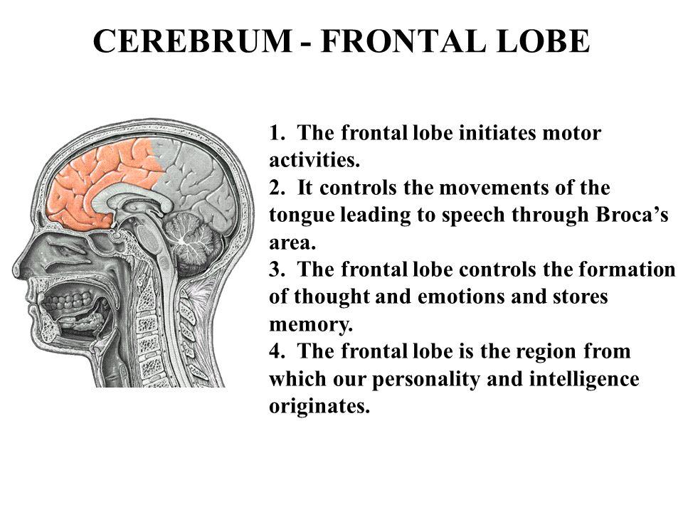 CEREBRUM - FRONTAL LOBE