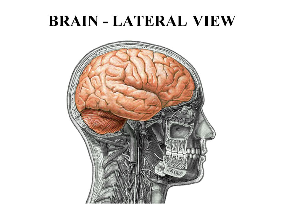 BRAIN - LATERAL VIEW