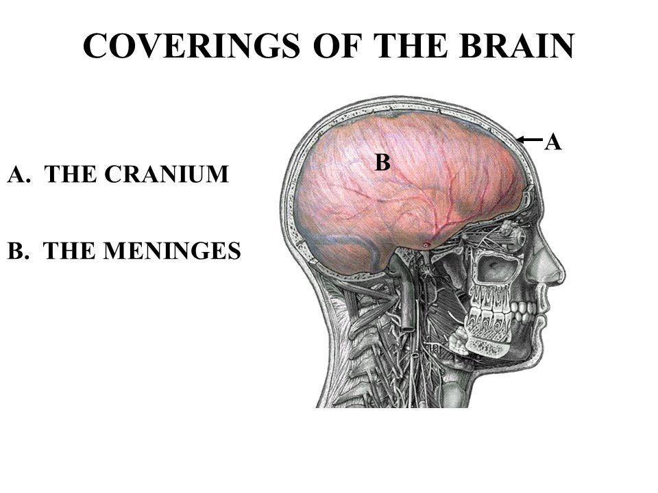 COVERINGS OF THE BRAIN A B A. THE CRANIUM B. THE MENINGES
