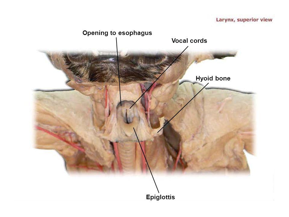 Opening to esophagus Vocal cords Hyoid bone Epiglottis