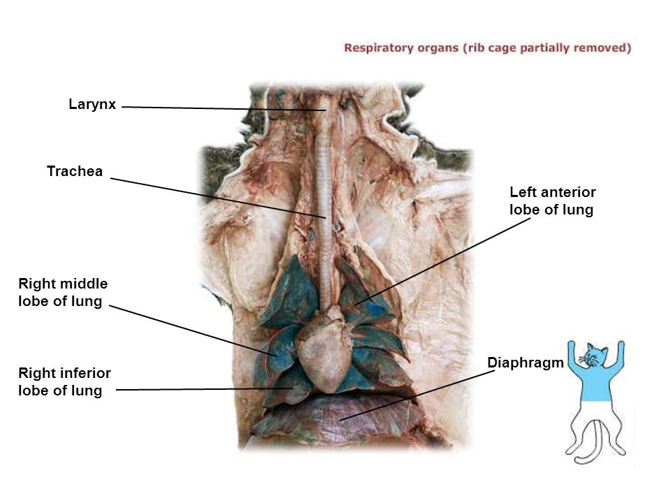Larynx Trachea. Left anterior lobe of lung. Right middle lobe of lung.