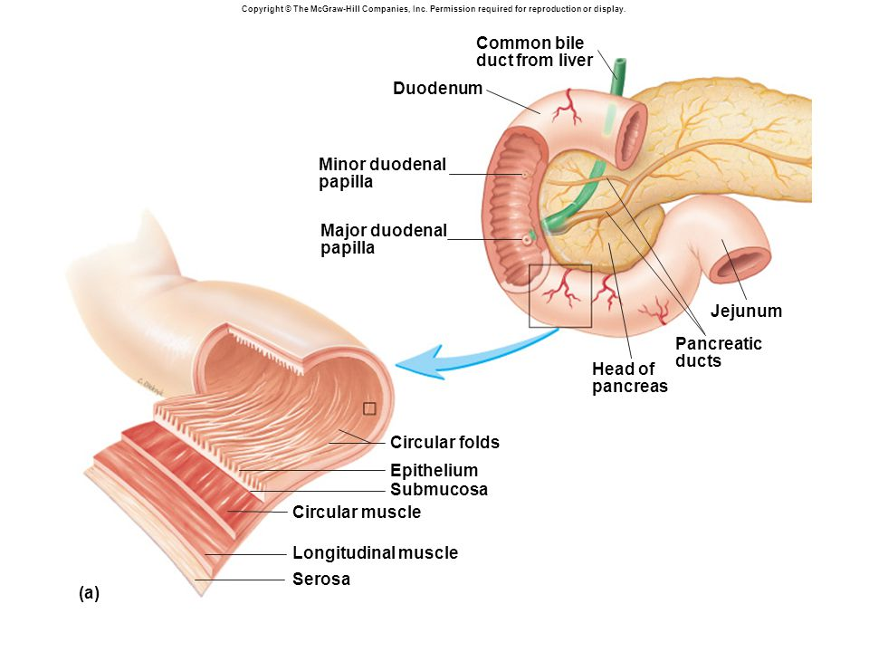 Common bile duct from liver Duodenum Minor duodenal papilla