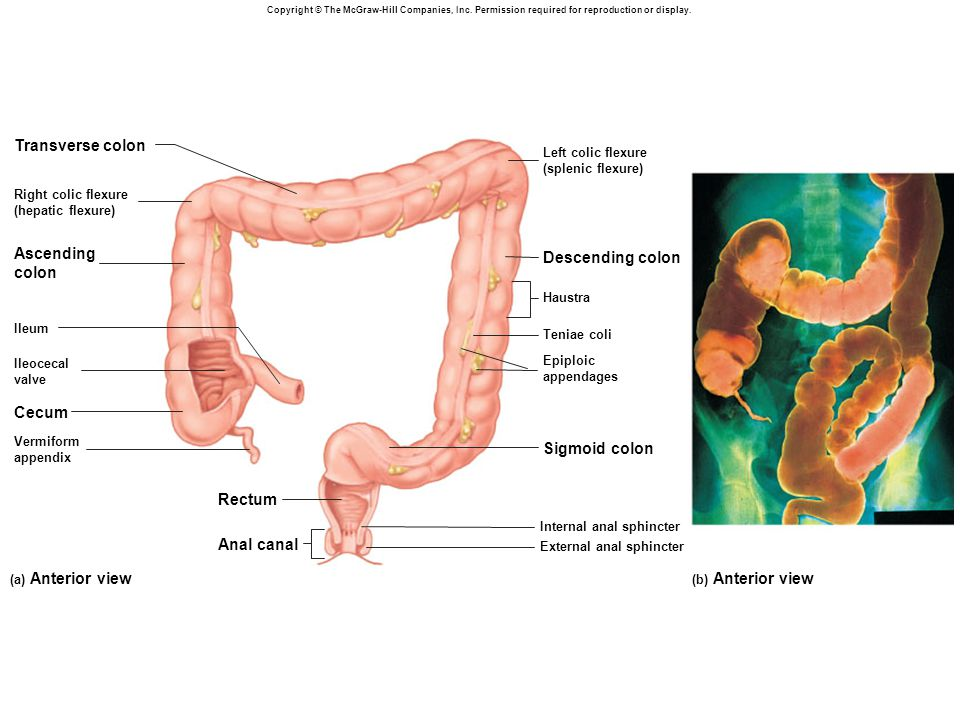 Transverse colon Ascending Descending colon colon Cecum Sigmoid colon