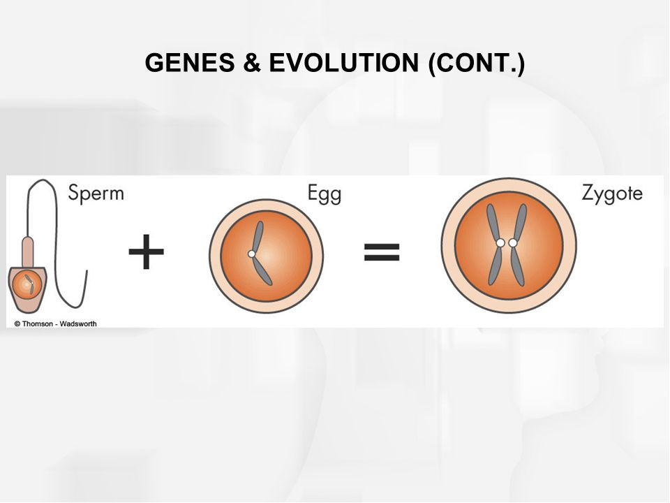 GENES & EVOLUTION (CONT.)