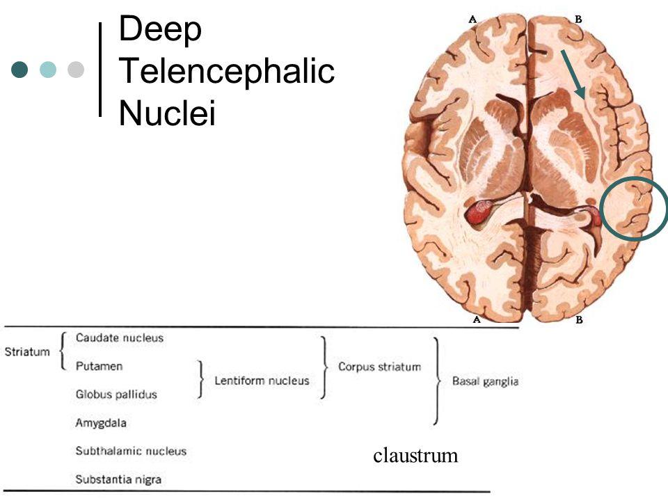 Deep Telencephalic Nuclei