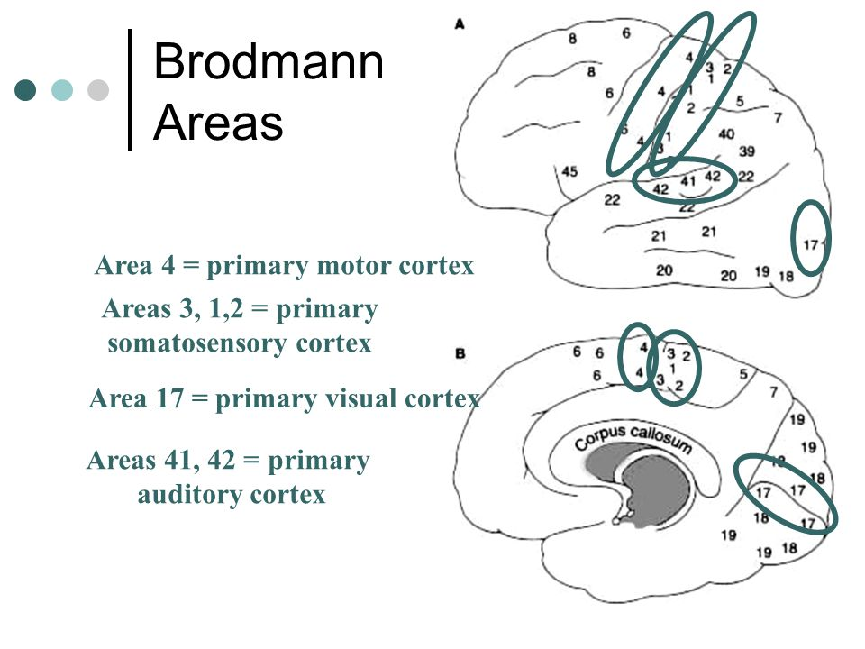 Brodmann Areas Area 4 = primary motor cortex Areas 3, 1,2 = primary