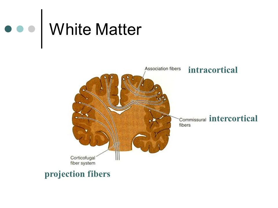 White Matter intracortical intercortical projection fibers