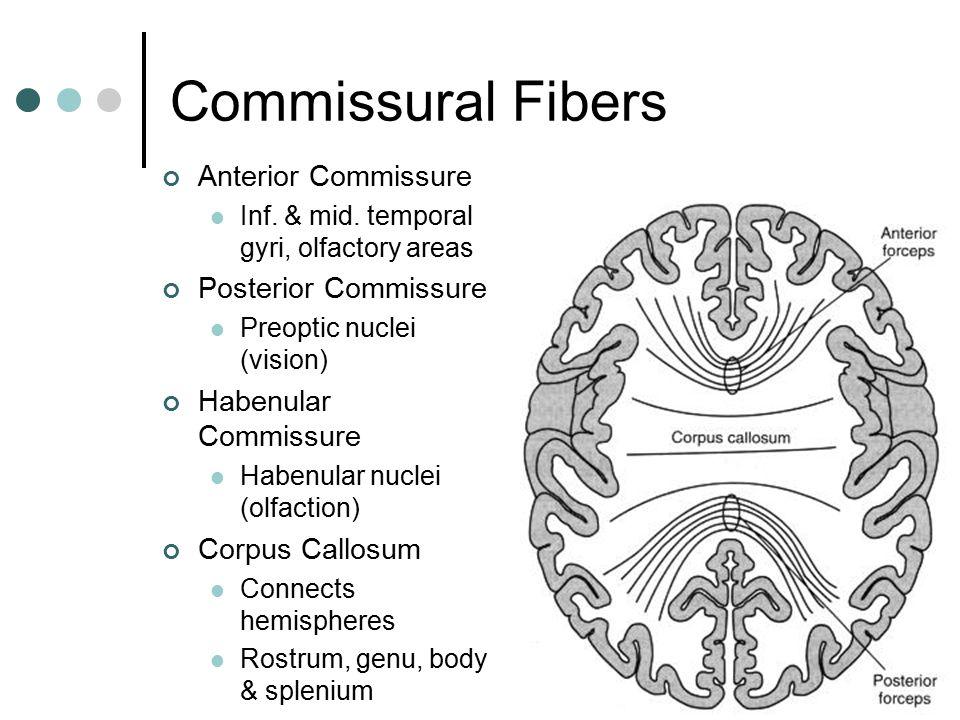 Commissural Fibers Anterior Commissure Posterior Commissure